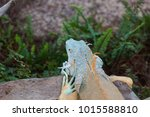 the lizard sits and looks at us ... | Shutterstock . vector #1015588810