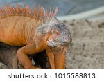 the lizard sits and looks at us ... | Shutterstock . vector #1015588813