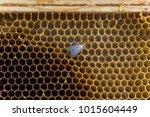 lesser wax moth achroia... | Shutterstock . vector #1015604449