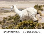 Alpaca In Andes Mountains  Per...