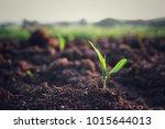 Young Corn Coleoptile Bud On...
