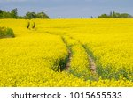 rapeseed field with tracks of... | Shutterstock . vector #1015655533