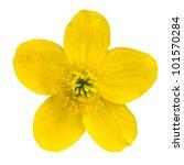 Marsh Marigold Yellow Flower...