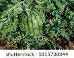 watermelon  citrullus lanatus ...   Shutterstock . vector #1015730344