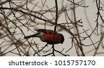 common bullfinch  pyrrhula... | Shutterstock . vector #1015757170