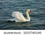 noble swan  mute swan   cygnus...   Shutterstock . vector #1015760140