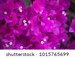 pink blooming flower  | Shutterstock . vector #1015765699