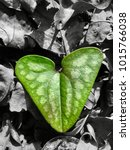 Small photo of For the love of nature. A color pop edit of a green heart shaped leaf among a grayscale layover of the foliage on the forest floor