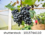 Small photo of Grape farm and close up beautiful grapes wine that is adequately ripe for trader or business or tourism, Big bunch grape