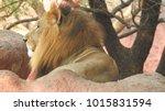 lion looking regal standing ... | Shutterstock . vector #1015831594