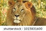 lion looking regal standing ... | Shutterstock . vector #1015831600