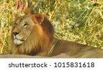lion looking regal standing ... | Shutterstock . vector #1015831618