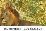 lion looking regal standing ... | Shutterstock . vector #1015831624