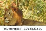 lion looking regal standing ... | Shutterstock . vector #1015831630