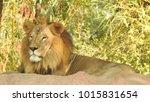 lion looking regal standing ... | Shutterstock . vector #1015831654