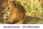 lion looking regal standing ... | Shutterstock . vector #1015831660