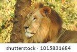 lion looking regal standing ... | Shutterstock . vector #1015831684