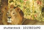 lion looking regal standing ... | Shutterstock . vector #1015831690