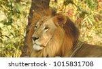 lion looking regal standing ... | Shutterstock . vector #1015831708