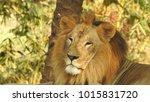 lion looking regal standing ... | Shutterstock . vector #1015831720