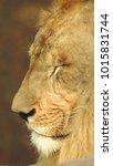 lion looking regal standing ... | Shutterstock . vector #1015831744