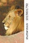 lion looking regal standing ... | Shutterstock . vector #1015831750