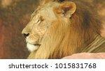 lion looking regal standing ... | Shutterstock . vector #1015831768