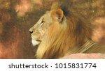 lion looking regal standing ... | Shutterstock . vector #1015831774