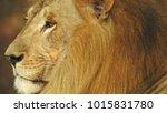 lion looking regal standing ... | Shutterstock . vector #1015831780