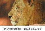 lion looking regal standing ... | Shutterstock . vector #1015831798