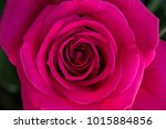 Stock photo front top photography of a beautiful natural hot pink fuchsia rose 1015884856