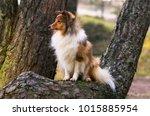 smart sable shetland sheepdog ... | Shutterstock . vector #1015885954