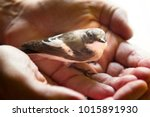 trusting bird on palm of person.... | Shutterstock . vector #1015891930
