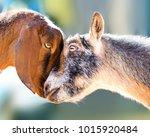 two cute farm goats pressing... | Shutterstock . vector #1015920484
