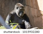 gorilla giving a shy glance. | Shutterstock . vector #1015932280