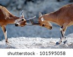 Two Ibex Mountain Goats Fight...
