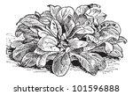 corn salad or valerianella... | Shutterstock .eps vector #101596888