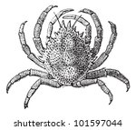 European Spider Crab Or Maja...