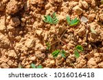 sapling of young plants on... | Shutterstock . vector #1016016418
