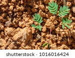 sapling of young plants on... | Shutterstock . vector #1016016424