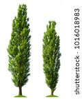 Two poplar trees isolated on a white background.