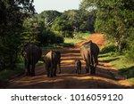 elephant family in sri lanka... | Shutterstock . vector #1016059120