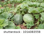 Melon Plant With Tree Fruits...