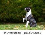 Boston Terrier Posing In The...