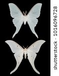 Small photo of two white butterfly Actias on a black background isolated