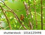 european or british robin ...   Shutterstock . vector #1016125498