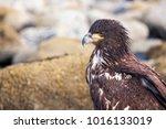Juvenile Bald Eagle  Haliaeetus ...