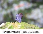 brown dipper  cinclus pallasii  ... | Shutterstock . vector #1016137888