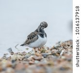 Small photo of Turnstone little wader bird