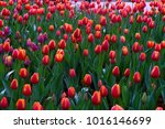 tulip. beautiful bouquet of... | Shutterstock . vector #1016146699
